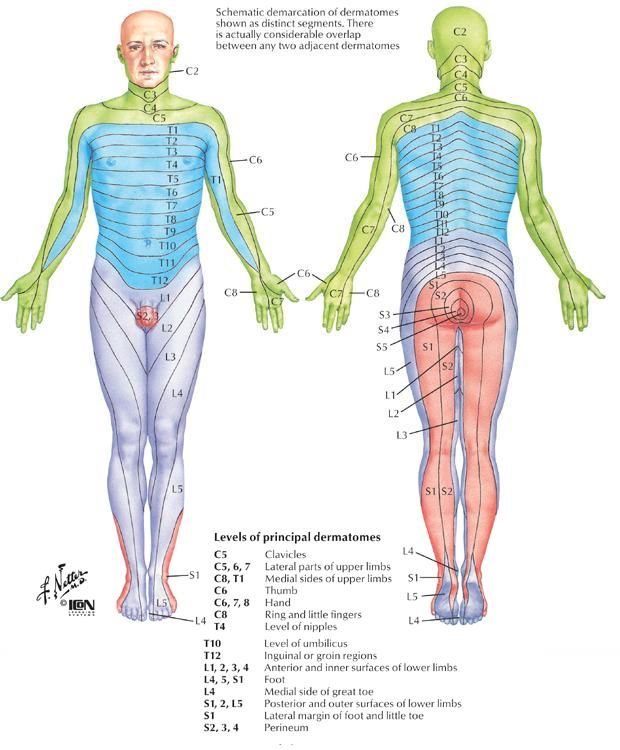 Spine with Dermatome Map